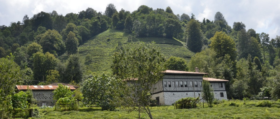 Tea Plants, Rize
